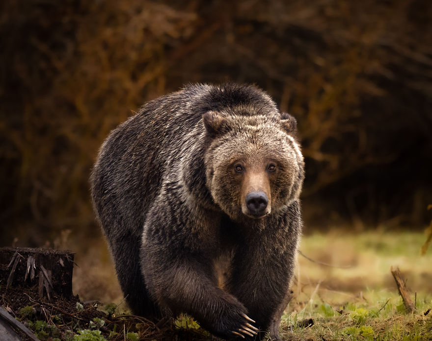Female Grizzly Bear Steps Across A Ditch. Photographed In Wyoming