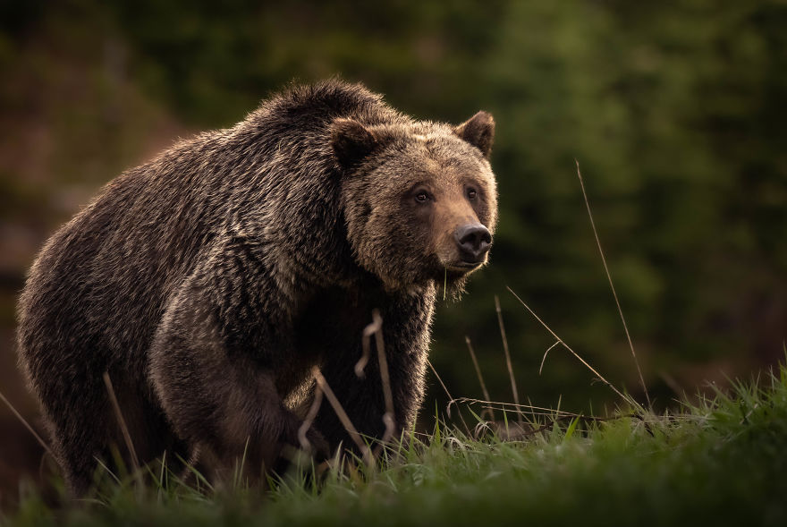 Female Grizzly Bear Marches Uphill At Golden Hour. Photographed In Wyoming