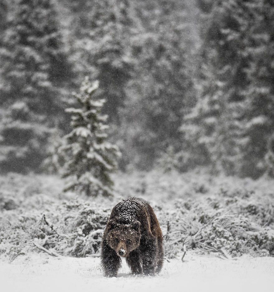 Snow-Covered Grizzly Forages Through Freshly Fallen Snow In Search Of Voles To Eat. Photographed In Wyoming