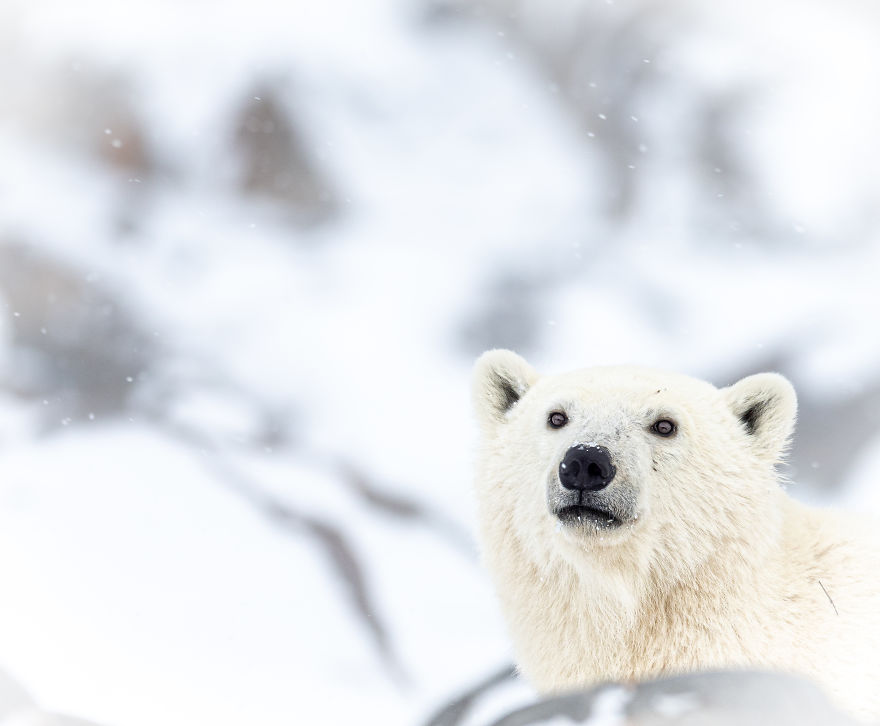 A Curious Polar Bear Sniffs The Air Before Stepping Out From Behind The Rocks. Photographed In Churchill, Manitoba