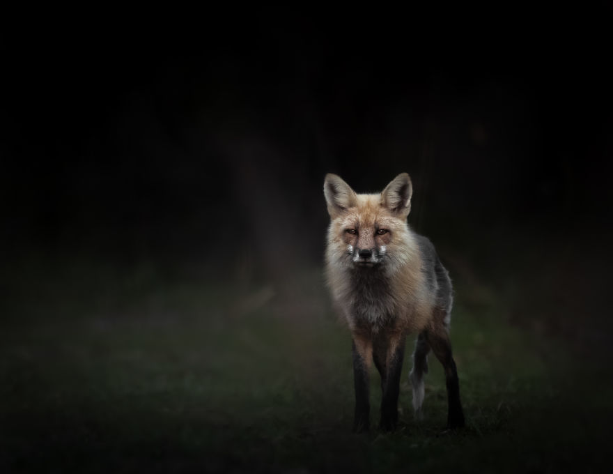 Old Fox Pauses In The Last Light Before Sunset After Emerging From The Woods. Photographed In Utah