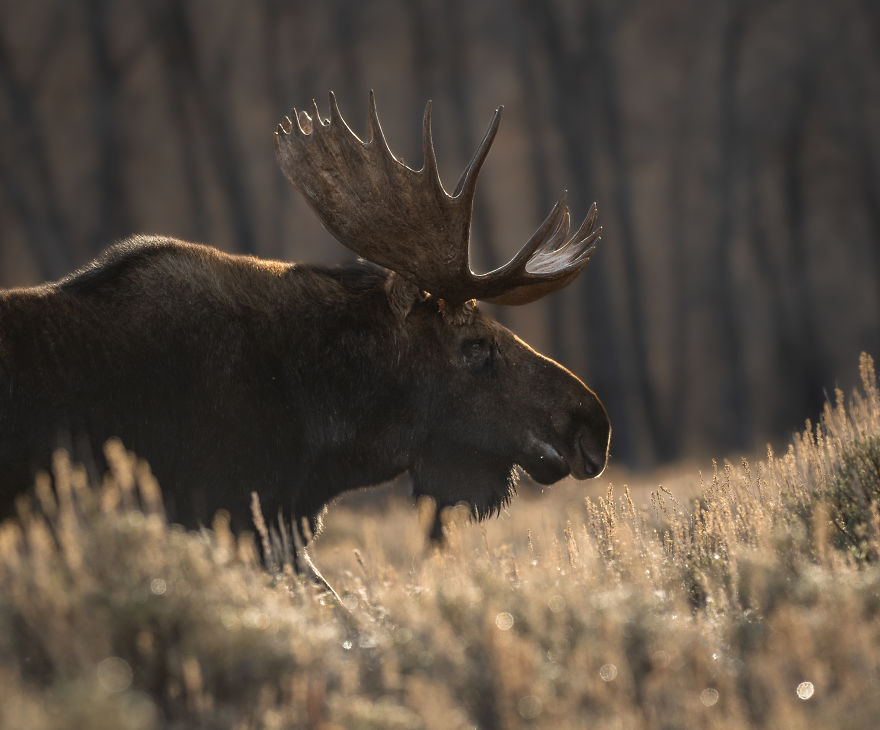 Massive Bull Moose Moves Slowly Through A Meadow On A Chilly Fall Morning. Photographed In Wyoming