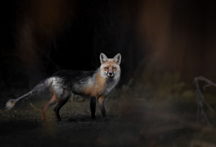 Old Fox Slips Through The Evening Shadows. Photographed In Utah