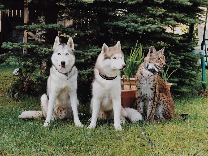 I Adopted Two Lynxes From A Fur Farm, Now I Live With 2 Big 'Cats,' 8 Dogs, And 3 Horses