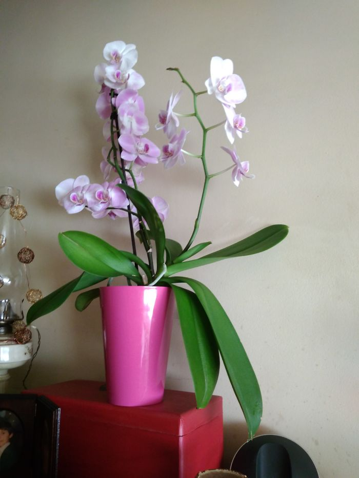 My Beautiful Orchid Was A Bd Present Two Years Ago