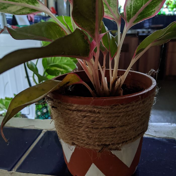 The Chinese Lipstick Plant