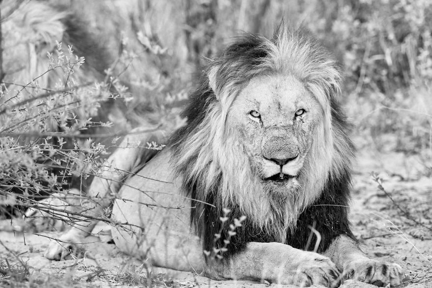 Kalahari Lion Stare
