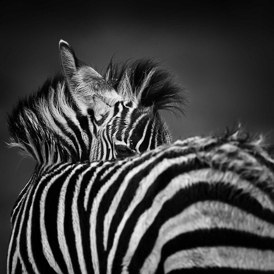 Looking Back, Zebra Foal