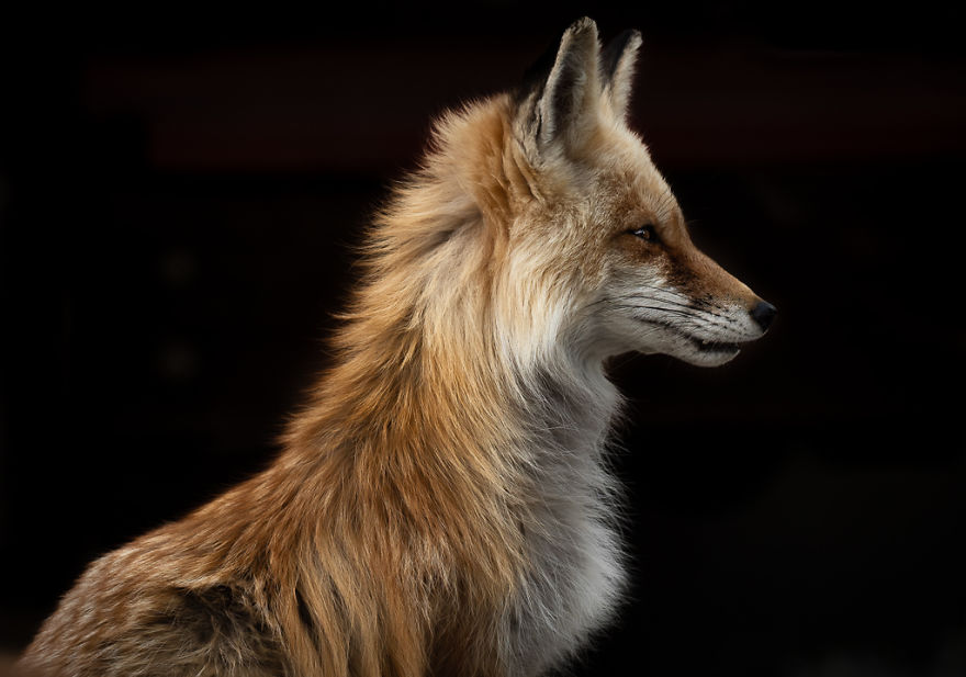 Female Red Fox Poses Against Black Driveway While Looking Into The Rising Sun. Photographed In Colorado