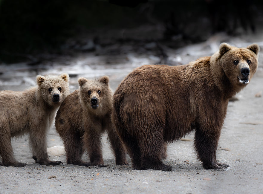 Family Of Coastal Brown Bears Pause And Look Around Before Continuing Down The Beach. Photographed On The Alaska Peninsula