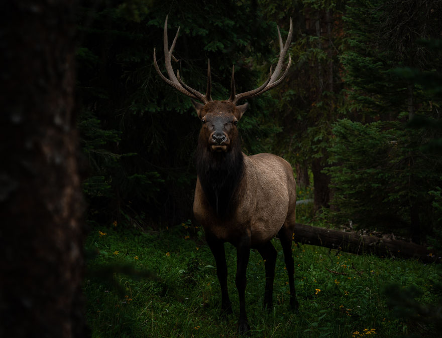 Young Bull Elk Pauses Before Vanishing Into The Dark Woods. Photographed In The Colorado Rocky Mountains