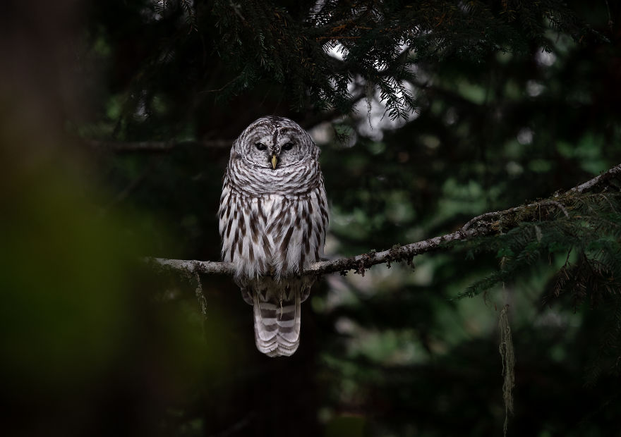 Stoic Barred Owl Looks On From Its Perch As The Evening Fades To Night. Photographed In British Columbia