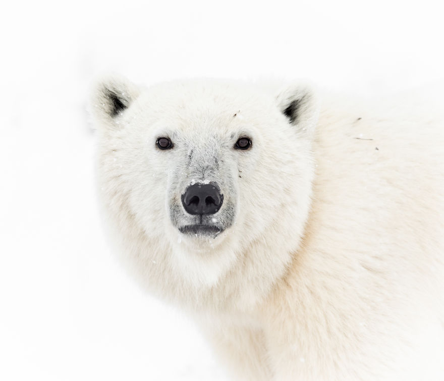 Polar Bear Makes Eye Contact From Across The Road. Photographed On The Shores Of Manitoba's Hudson Bay