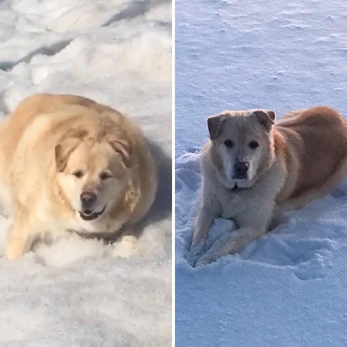 El dueño de este Golden Retriever obeso exigió al veterinario que lo sacrificara, pero por suerte se negó (21 fotos)