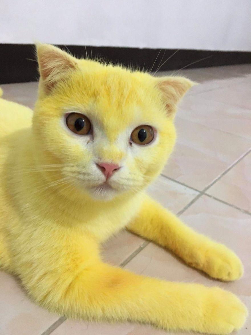 warna kuning yang natural pada tubuh kucing ini