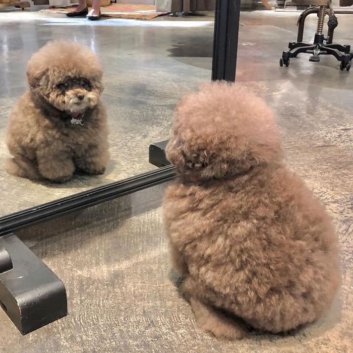 Fluffy Poodle Is Going Viral For Its Human-Like Expressions