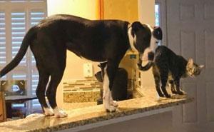 Este pitbull rescatado cree ser un gato, y su nueva familia no para de subir fotos que lo demuestran