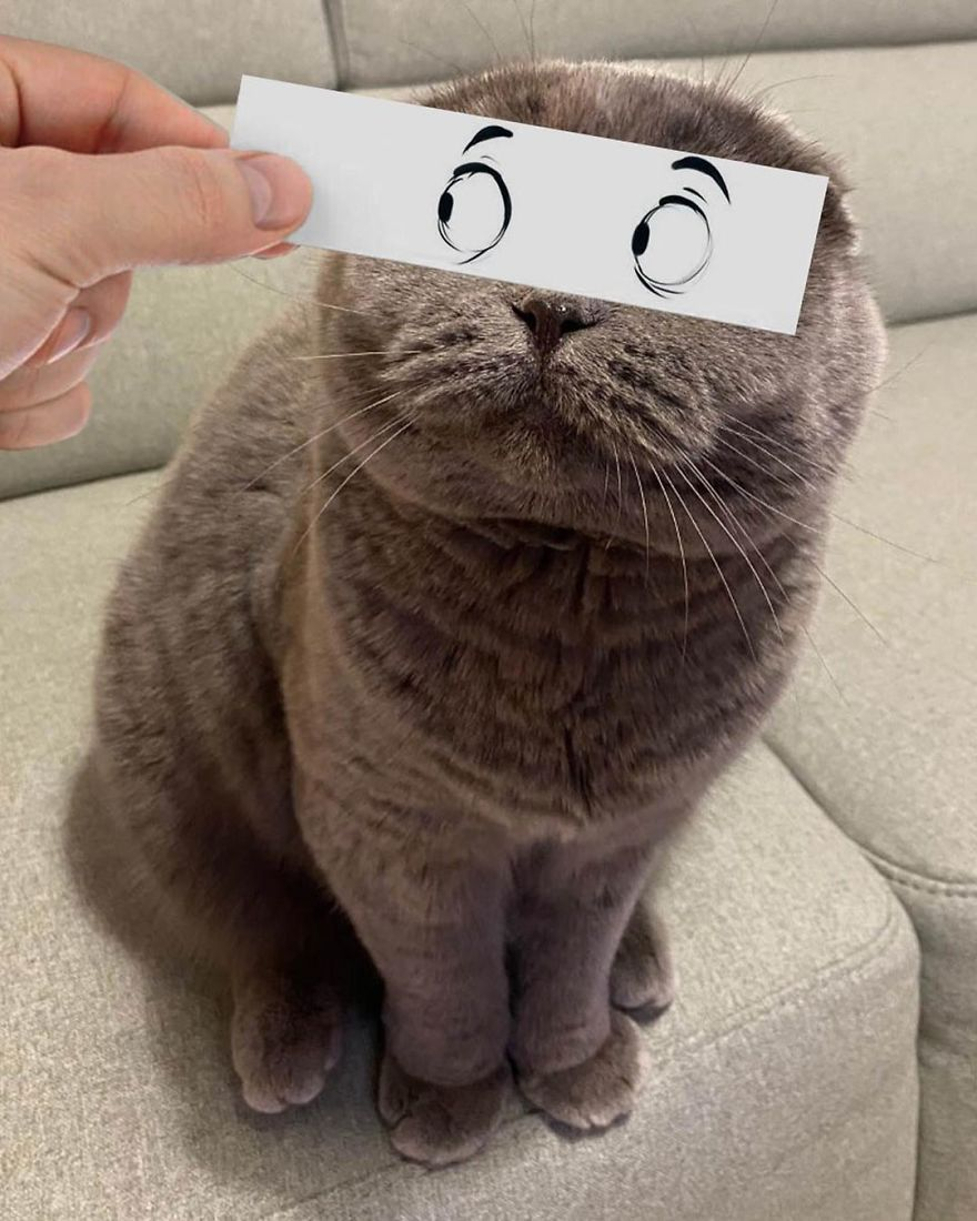 Scottish-Fold-Longhair-Cat-Drawing-Face-Expressions