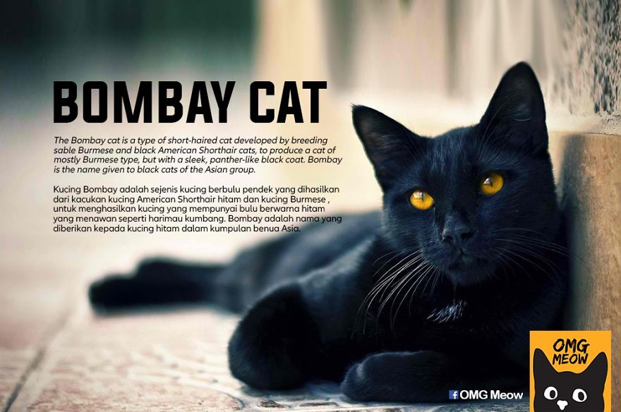 30 Of The Most Popular Cat Breeds And Their Origins Bored Panda