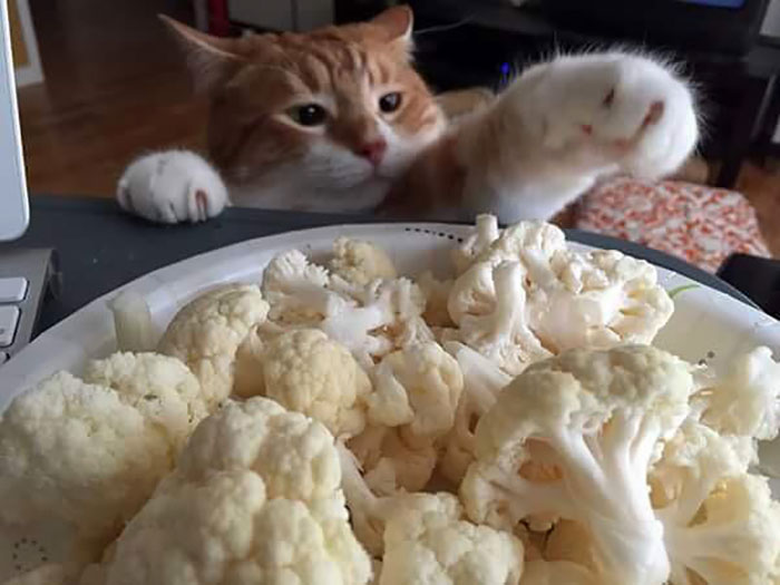 The Nefarious Mr. Sugar Paws Caught Red-Handed Trying To Steal Some Raw Cauliflower, Which Is Inexplicably One Of His Favorite Foods To Nom