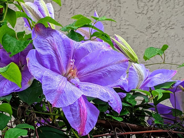 I Moved From Texas To California A Year Ago And Found This Beautiful Clematis Growing In The Back Yard