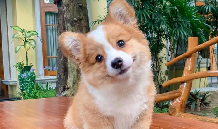 Meet Baby, The Corgi That Loves Everyone And Has A Feisty Personality (31 Pics)