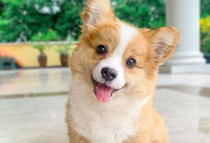 This 5-Month-Old Corgi Is Just A Fluffy Ball Of Joy (31 Pics)
