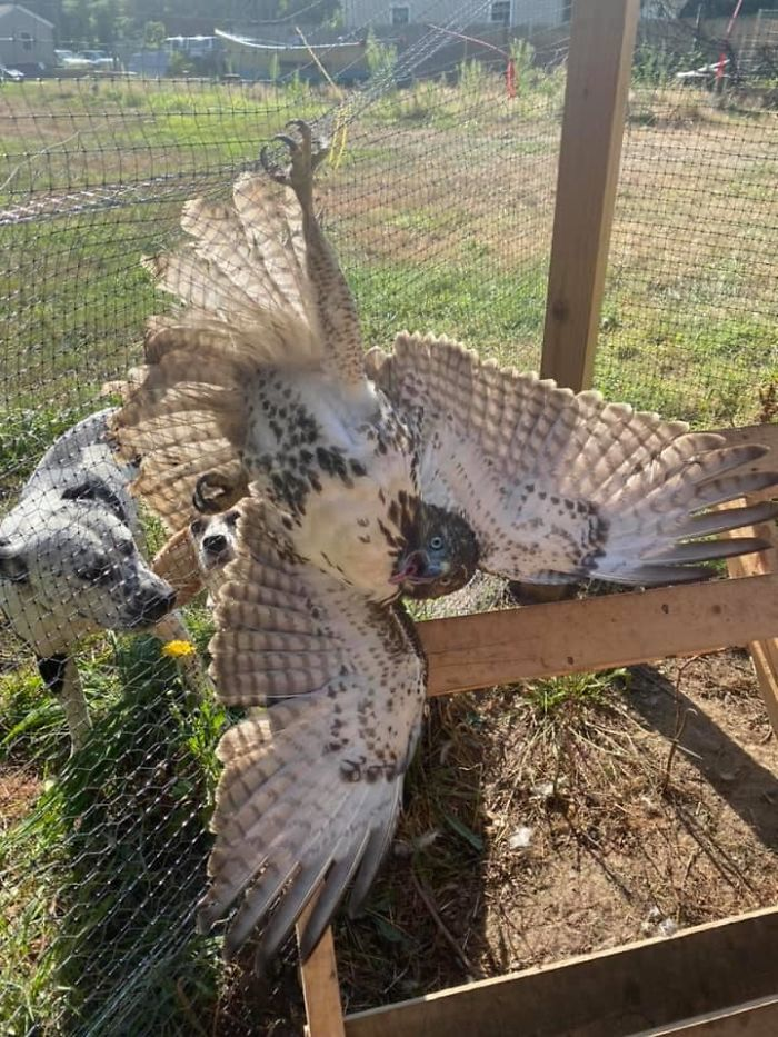 A Women In My Chicken Group Had This Hawk Bust Through Her Coop. Don't Worry, Derpy Birb Is Alive And Well. She Managed To Throw A Towel Over It And Carry It Safely Outside, Which Was Very Kind Of Her Since Derpy Birb Successfully Killed A Chicken