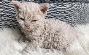 Estos gatos son muy diferentes de los que sueles ver (30 fotos)
