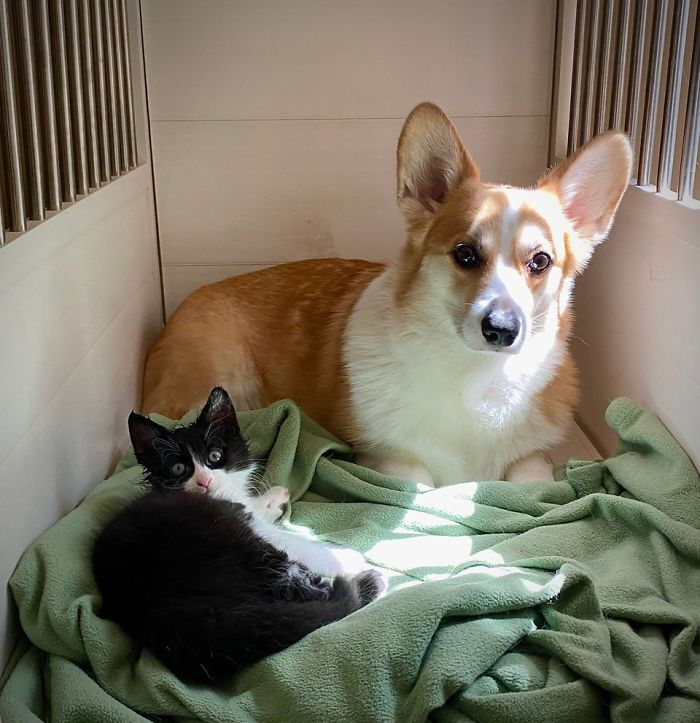 We Were Concerned That Our Corgi Wouldn't Like The Stray Kitten We Rescued His Head Is Soaked From Our Corgi Grooming Him