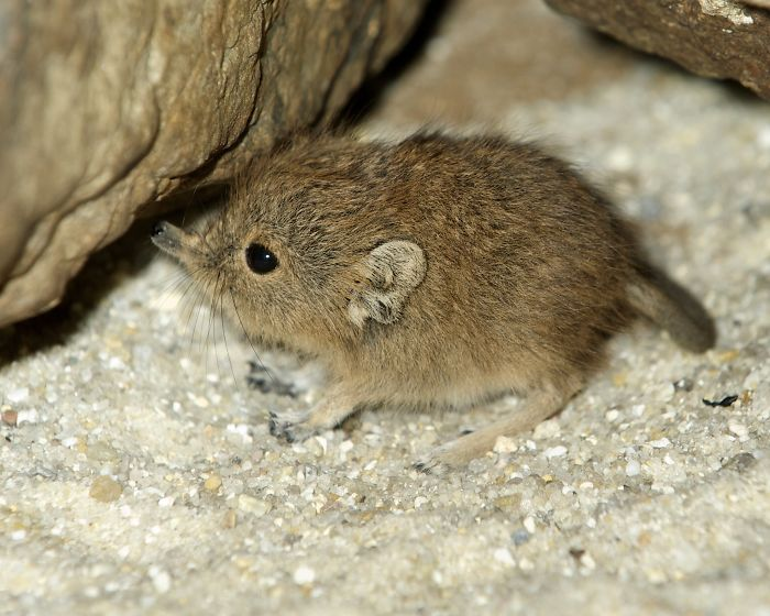 Tiny Elephant Shrews Have Been Rediscovered In Africa After Being Classed As A 'Lost Species' For The Last 50 Years