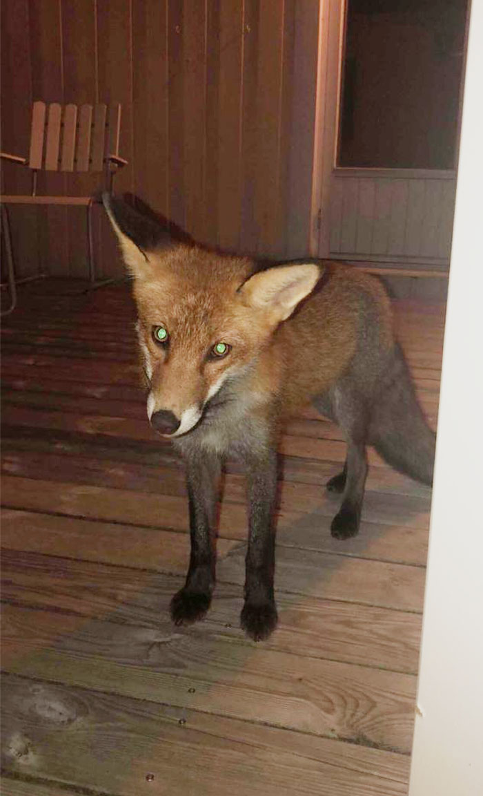 So A Fox Decided To Show Up Outside My Door In The Middle Of The Night