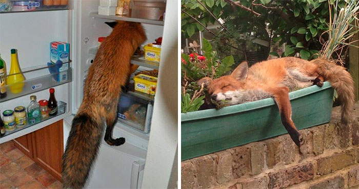 26 People Who Found Foxes In Their Houses And Shared Pics Online