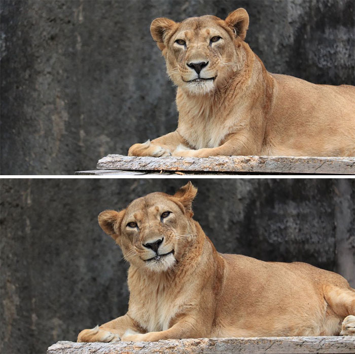 """A Very Polite Lioness. I Imagine Her Saying, """"Why, Thank You For The Compliment!"""""""