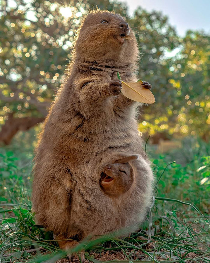 Quokkas Are The Face Of Happiness