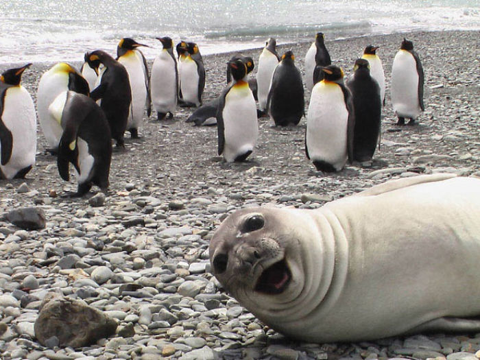 Funny-Laughing-Seals