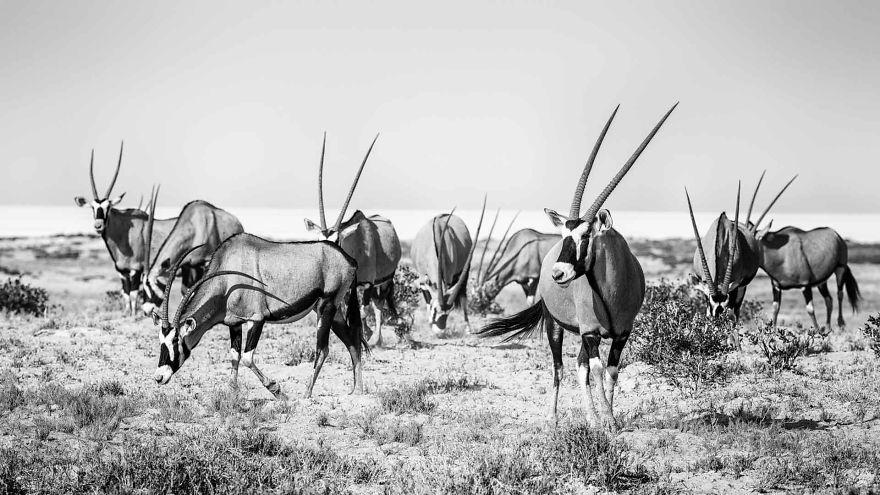 Gemsbok, Kalahari