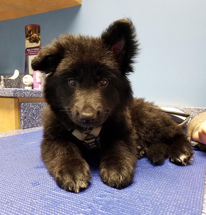 Se llama Pepper, creemos que es cruce de pastor alemán con un oso