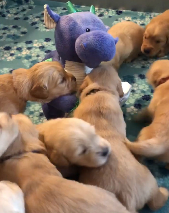 A Litter Of 4-Week-Old Goldies Get Mesmerized By A Dragon Reading Them A Bedtime Story
