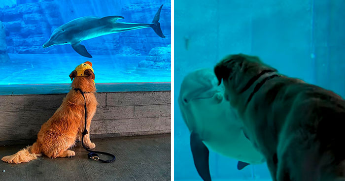 After A Video Chat With A Rescued Dolphin, This Golden Retriever Got A Chance To Meet Her In Real Life