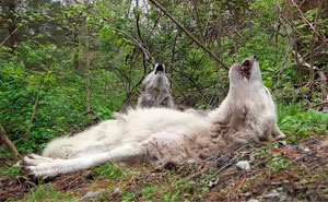 These 2 Wolves Went Viral For Being So Lazy That They Howl While Lying Down