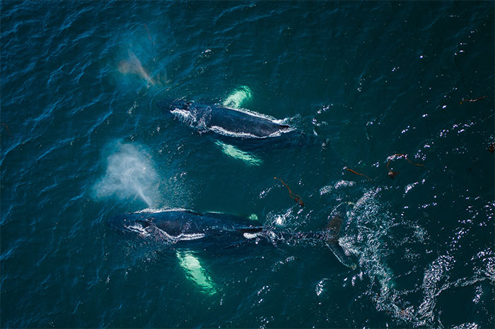When Dozens Of Whales Arrived In My Town, I Took Out My Drone To Take These 21 Pics