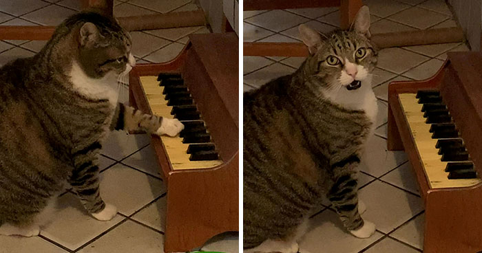 Cat Plays On A Tiny Piano To Inform His Owner When He's Hungry