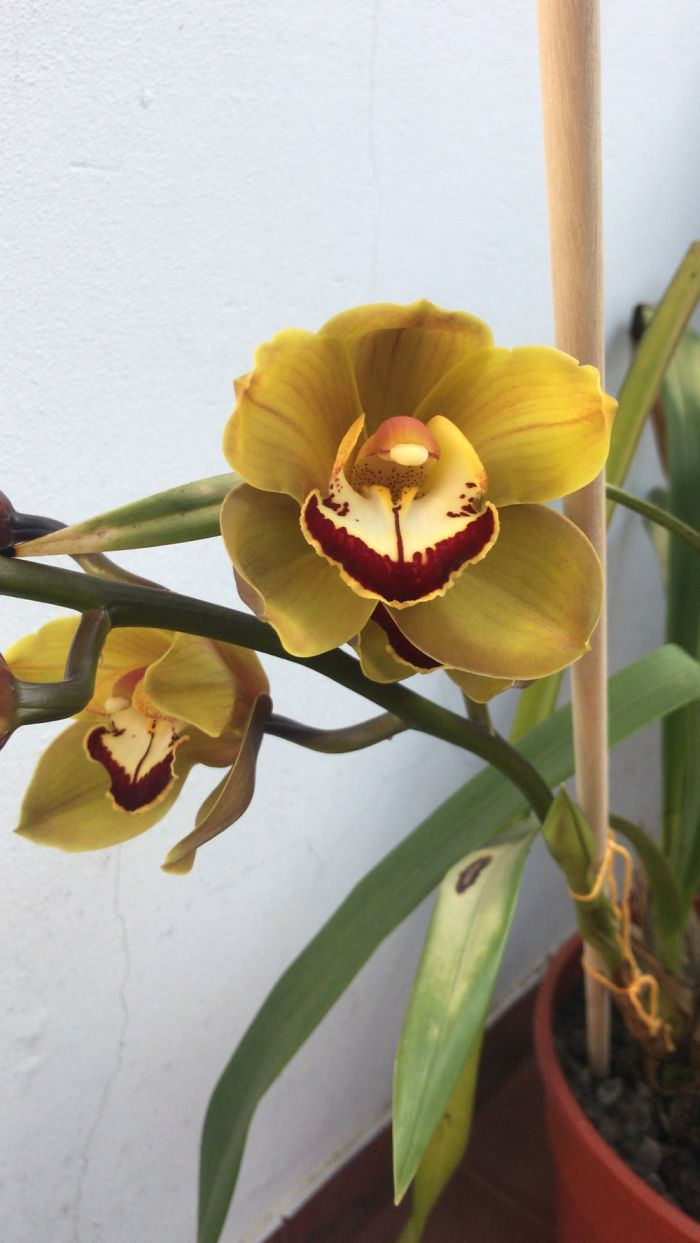 My Orchids Are Blossoming!