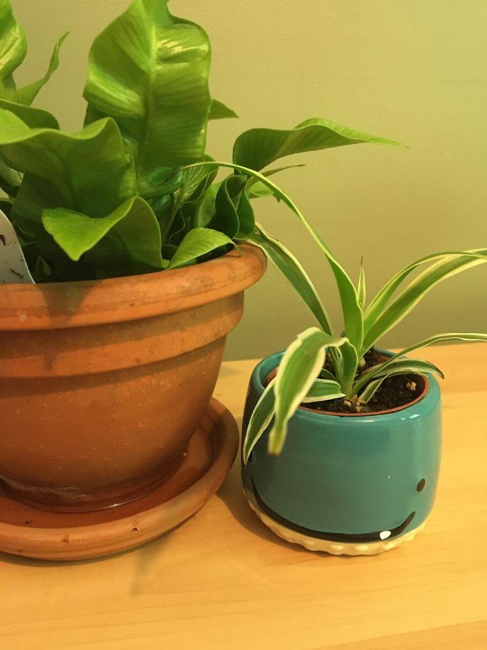 This Is My Japanese Asplenium Nidus Fern (Ivy) And My Mini Spider Plant (Edward) Ówò