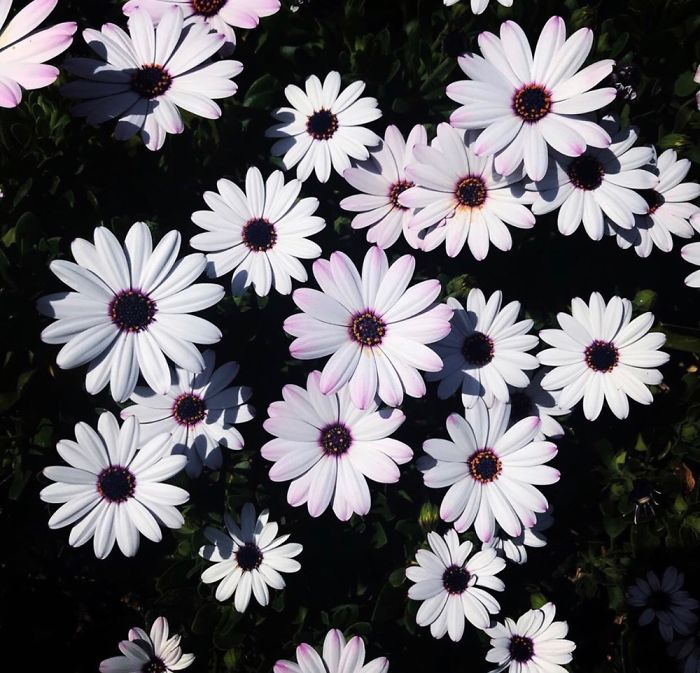 Osteospermum Or River Daisys They Can Be A Variety Of Colors From Purple, Pink, Yellow Or White