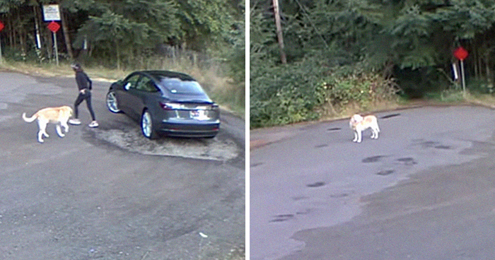 Cruel Owner Leads Tail-Wagging Senior Labrador Into The Woods, Abandons Him, And Drives Off In Her Tesla