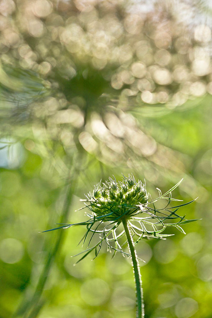 Highly Commended, 'Wild Carrot Flowers In The Late Afternoon' By Rachele Z. Cecchini