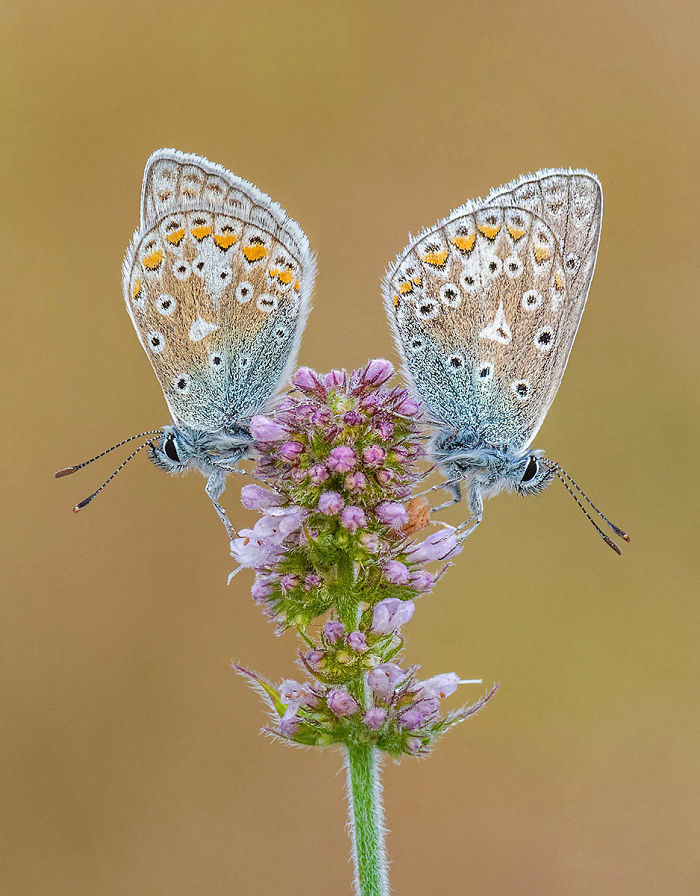 Highly Commended, 'Common Blues On Apple Mint' By Tony North