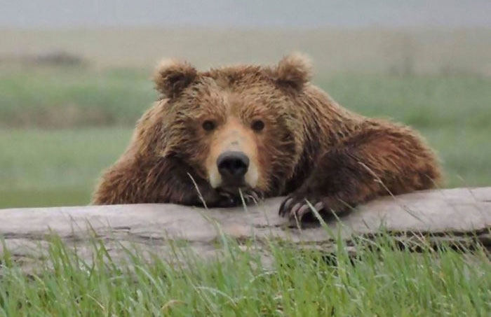 National Park Service Shares A Hilarious PSA On What To Do And Not To Do In Case Of A Bear Encounter